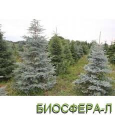 Ялина колюча ф.блакитна (Picea Pungens)
