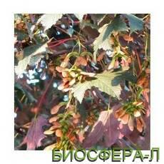 Клен ложноплатановый Принц Хандиери (Acer pseudoplatanus Prinz Handiery)