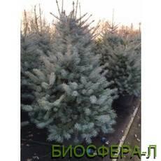 Ялина колюча БлюДаймонд (Picea Blu Dsamond)