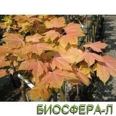 Клен несправжньоплатановий Брилліантиссимум (Acer pseudoplatanus Brilliantissimum)