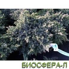 Ялівець лускатий Juniperus Squamata Blustar