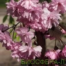 Слива дрібнопильчата «Роял Бургунд» (сакура) Prunusserrulata Royal Burgundy