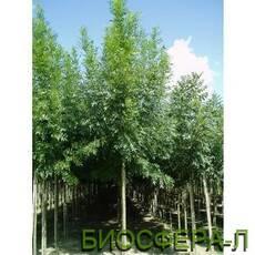 Ясень узколистный Рейвуд Fraxinus angustifolia Raywood