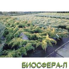 Ялівець китайський Плюмоза Ауреа (Juniperus chinensys Aurea)