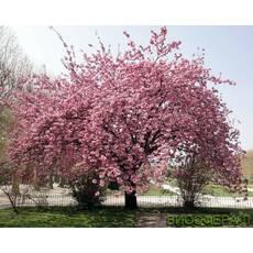 Слива дрібнопильчата (Сакура) Канзан Prunus serrulata Kanzan
