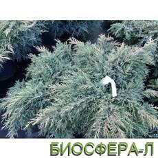Можжевельник Голд Стар (Juniperus Gold Star)