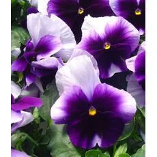 Виола Лорд Биконсфилд фиолетовая (ЕНК-343) за 0,1 г
