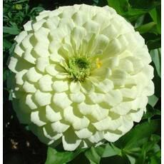 Цинния Белый принц за 0,5 г (ЕНК-261)