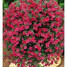 Лобелия Рубиновый фонтан за 0,1 г (ЕНК-490)