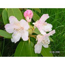 Rhododendron (T)  'Paola'