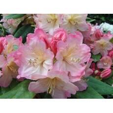 Rhododendron (Y)  'Percy Wiseman'
