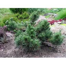 Pinus mugo 'Jacobsen' Сосна гірська 'Jacobsen'