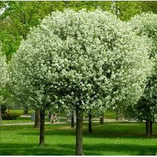 Вишня шарообразная Умбракулифера (Prunus eminens Umbraculifera)