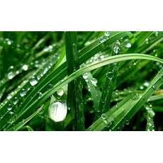 Семена суданской травы (суданка)