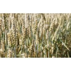 Насіння пшениці Новосмуглянка (Супереліта)