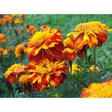 Экстракт цветков бархатцев купить в Украине