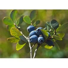 Экстракт ягод черники обыкновенной купить в Киеве