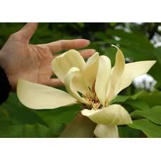 Магнолія Трипелюсткова / Трьохпелюсткова 1 річна, Магнолия трехлепестная / зонтичная, Magnolia tripetala