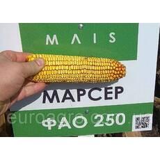 Насіння кукурудзи Марсер від МАЇС (Черкасы)