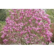 Магнолія гібридна Susan 2 річна, Магнолия гибридная Сюзан / Сузан, Magnolia hibrida / hybrids Susan
