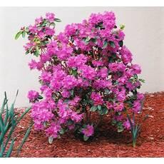 Рододендрон каролинский P.J.M. Elite 2 годовой, Рододендрон каролинский Элитный, Rhododendron carolinianum