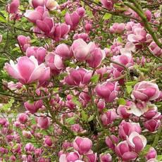 Магнолія суланжа Picture 3 річна 50-60см, Магнолия суланжа Пиктуре, Magnolia X soulangeana Picture