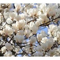 Магнолія Суланжа Біла з насіння 2 річна, Магнолия Суланжа Белая из семян, Magnolia X soulangeana
