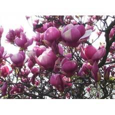 Магнолія Суланжа Rustica Rubra 3 річна 0,8-1,2м, Магнолия Суланжа Рустика Рубра, Magnolia soulangeana Rustica