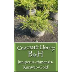 Ялівець китайський Курівао Голд  (Juniperus chinensis Kuriwao Gold)
