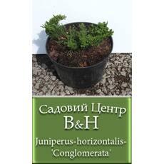 Ялівець горизонтальний Конгломерату  (Juniperus horizontalis Conglomerata)