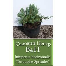 Ялівець горизонтальний Таркойс Спредер  (Juniperus horizontalis Turquoise Spreader')