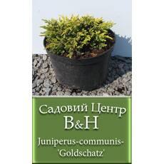 Ялівець звичайний Голдшатц (Juniperus communis Goldschatz)