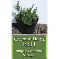 Ялівець прибережний Шлягер (Juniperus conferta Schlager)