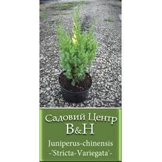 Ялівець китайський Стрікта Варієгата  (Juniperus chinensis Stricta Variegata)