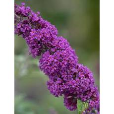 Будлея Давида Border Beauty 2 річна, Будлея Давида Бордер Бьюти, Buddleja davidii Border Beauty