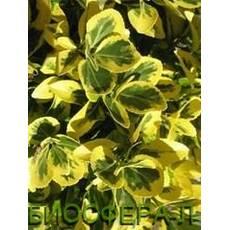 Бересклет японский Aureomarginatum