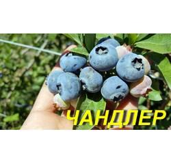 "Голубика (черника) ""Чандлер"" (ЗКС) 3 г."