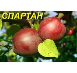 "Саженцы яблони ""Спартан"""