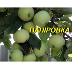 """Саженцы яблони""""Папировка"""" ЗКС) 3 г."""