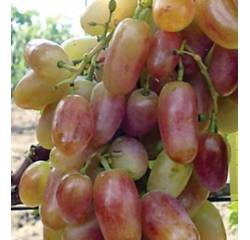 Саджанці винограду Преображеніє