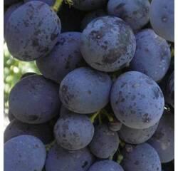 Саджанці винограду Сфінкс