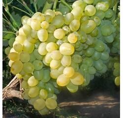 Саджанці винограду Супер-Екстра