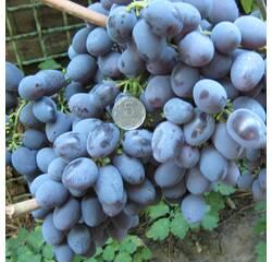 Саженцы винограда Гала