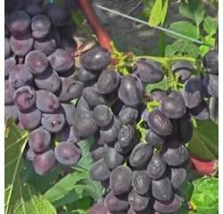 Саджанці винограду Юпітер