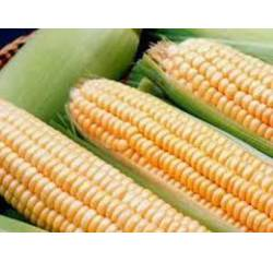 Семена кукуруза Спирит