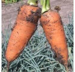 Семена моркови Шантанэ