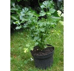 Семена сельдерея Эфенчизер