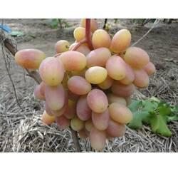 Саджанці винограду Юліан