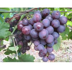 Живці винограду Пам'яті Вчителя