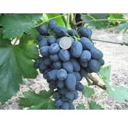 Саженцы винограда Забава